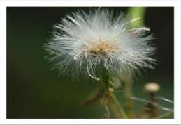 ชาหญ้าดอกขาว จิบบ่อยๆเลิกบุหรี่ อดข้าว