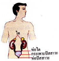 สมุนไพรรักษาโรค บำรุงไต Thai Herb ช่วยแก้ไตอักเสบ ขับปัสสาวะ บำรุงไต อาการไตเสื่อม อาการปัสสาวะขัด