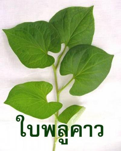 สมุนไพรรักษาโรค พลูคาว Thai Herb