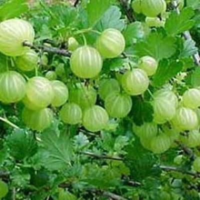 สมุนไพร รักษาโรค Thai Herb