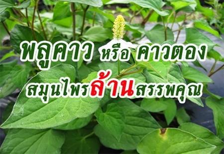 สมุนไพรรักษาโรค พลูคาว ThaiHerb
