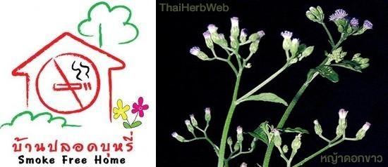 สมุนไพรรักษาโรค ชาหญ้าดอกขาว เลิกบุหรี่ ลดความอ้วน ThaiHerb