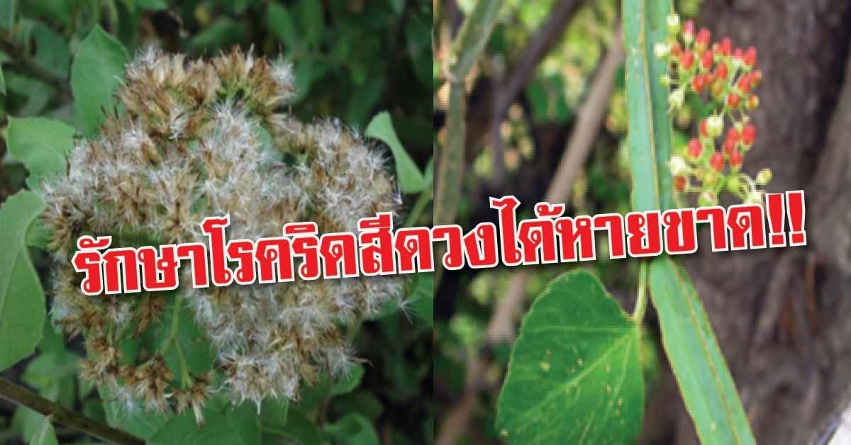 เพชรสังฆาต Thai Herb รักษาริดสีดวงทวาร ป้องกันกระดูกพรุน แคปซูล