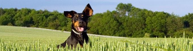เนื้อเป็ด และมันเทศ สำหรับสุนัขทุกช่วงวัย