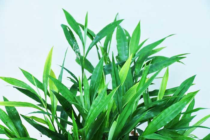 หญ้าฮี๋ยุ่ม หญ้ารีแพร์ สมุนไพรช่วยกระชับช่องคลอด ตกขาว Thai Herb